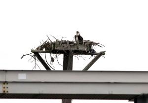 burlington 2013 osprey